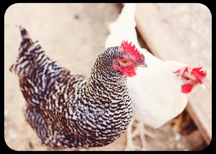 chickensfb