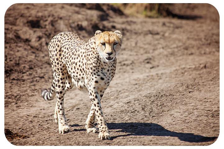 cheetahclosefb