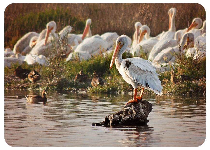 pelicanfb
